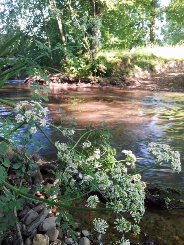 peace, quiet, calm, still, slow, river, lady's lace, English countryside, riverbank, wildflowers